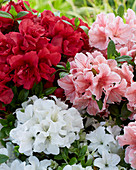 Rhododendron 'Encore' ® 'Autumn Fire', 'Sunburst', 'Pure White'