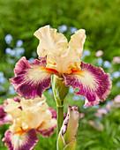Iris barbata 'Comme un Sourire'