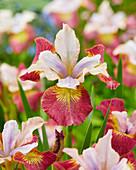 Iris sibirica 'Sugar Rush'