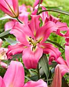 Lilium 'Maldano'