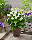 Zantedeschia 'Captain Kelso'