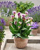 Zantedeschia 'Captain Miro'
