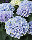 Hydrangea macrophylla 'Elizabeth Ashley Blue'
