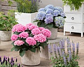 Hydrangea macrophylla 'Elizabeth Ashley' und  'Elizabeth Ashley Blue'