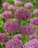 Allium 'Firmament'