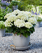 Hydrangea Multi-Double by Magical ® 'Saturday White Fever'