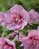 Hibiscus syriacus 'Lavender Chiffon'
