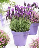 Lavandula stoechas subsp. lusitanica 'Lusi Purple'