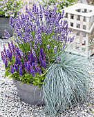 Lavandula 'Big Time Blue', Salvia 'Blue Bouquetta', Festuca glauca 'Beyond Blue'