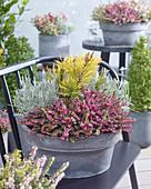 Schale mit Winterheide, Kiefer 'Carstens Wintergold' und Lavendel