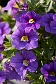 Calibrachoa 'Lavender Improved'
