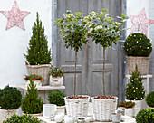 Viburnum tinus, Picea glauca 'Conica', Buxus