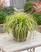 Carex 'EverColor' ® 'Eversheen'