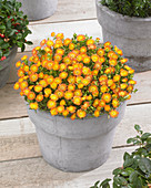 Delosperma 'Wheels of Wonder' ® 'Orange Wonder'