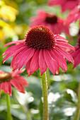 Echinacea 'Sombrero Baja Burgundy'