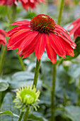 Echinacea 'Sombrero Salsa Red'