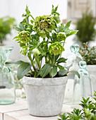 Helleborus orientalis 'Double Ellen' ® 'Green'