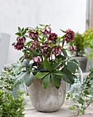 Helleborus orientalis 'Double Ellen' ® 'Red'