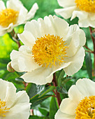 Paeonia 'Moon of Nippon'