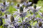 Eryngium alpinum 'Superbum'