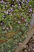 Cymbalaria, Sempervivum