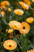 Calendula 'Winter Creepers Nectarine & Frost'