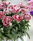 Dianthus 'Bianca' ®