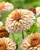 Calendula 'Winter Wonders Banana Blizzard'