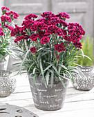 Dianthus 'Odessa' ® 'Red'