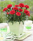 Dianthus 'Red Allura' ®