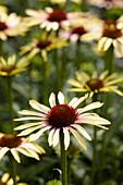 Echinacea '1131-01'