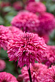 Echinacea 'Blackberry Truffle'