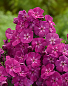 Phlox 'Purple 2014'