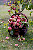 Freshly picked apples in a wicker basket