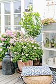 Kübelpflanzen auf der Terrasse: stehende Geranie, Hortensie und Zitrusbäumchen