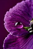 Water droplet on purple flower
