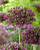 Allium Hybride 'Magic'
