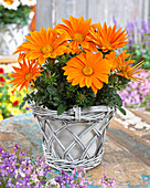 Gazania rigens 'Giant Deep Orange'