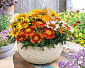 Gazania rigens Giant 'Deep Orange', 'Bronze Striped', 'Yellow Red Striped', 'White Tricolor'