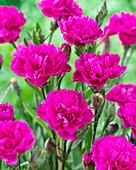 Dianthus caryophyllus 'Faganza' ®