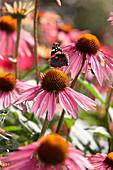 Echinacea purpurea 'Summer Cocktail' ®