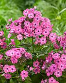 Phlox paniculata Twinkle 'Rose 24-02'