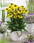 Echinacea purpurea SunSeekers 'Yellow'