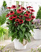 Echinacea purpurea SunSeekers 'Red'