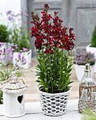 Lobelia speciosa 'Crimson Princess'