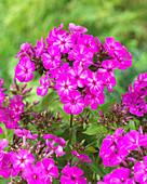 Phlox paniculata Twinkle 'Purple K029-05'