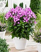 Phlox paniculata Famous 'Purple 9009-05'