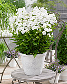 Phlox paniculata Sweet Summer 'Snow'