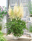 Astilbe chinensis 'Diamonds and Pearls' ®
