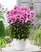 Phlox paniculata Sweet Summer 'Dream'